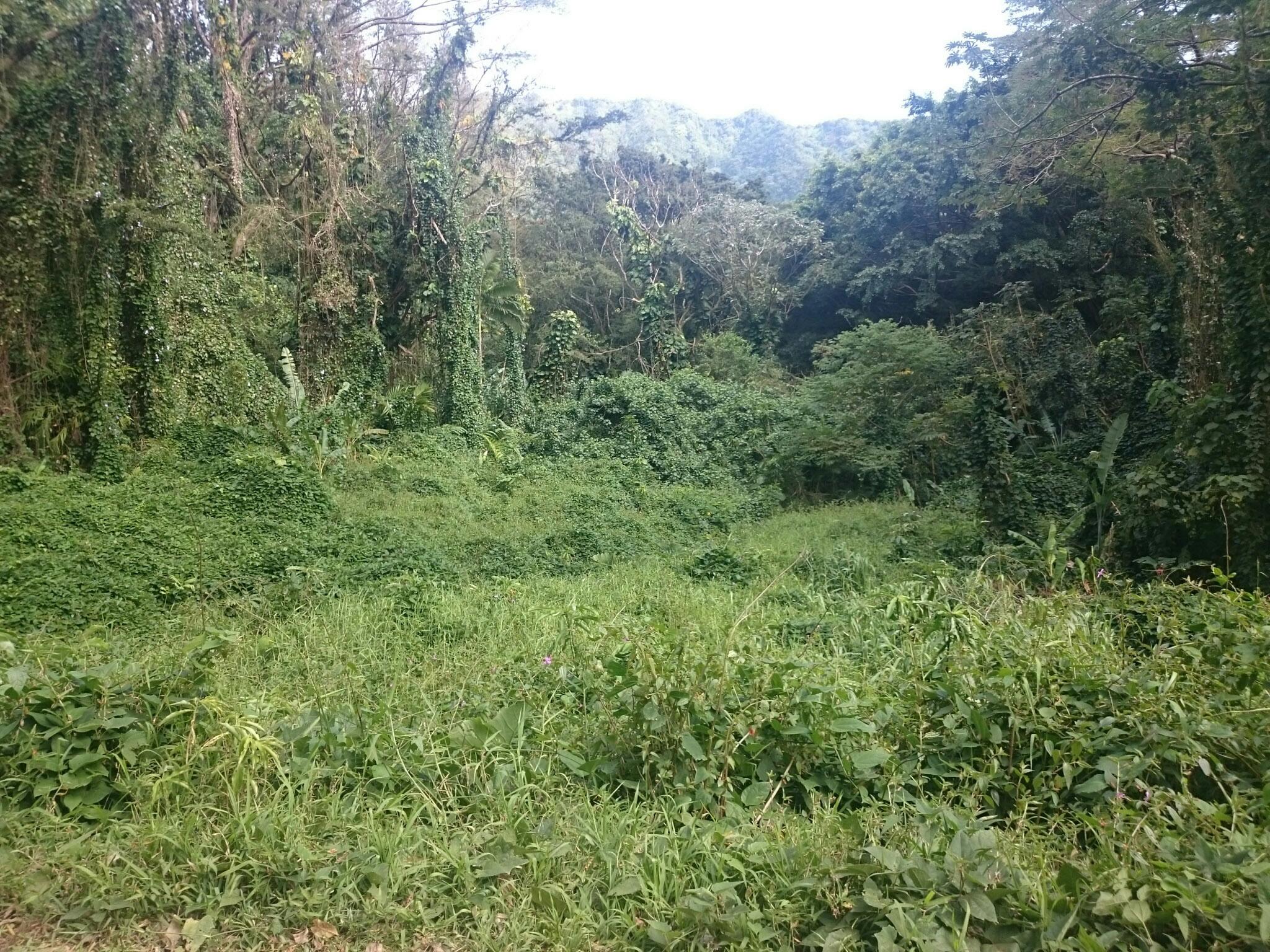 Manoa Falls jungle