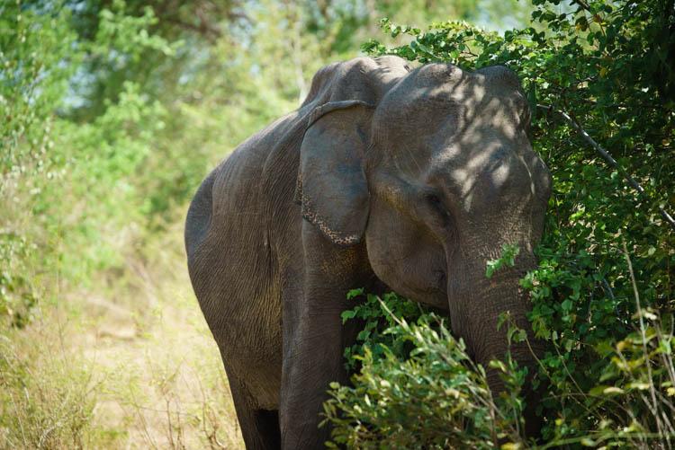 Elephant at Udawalawe national Park