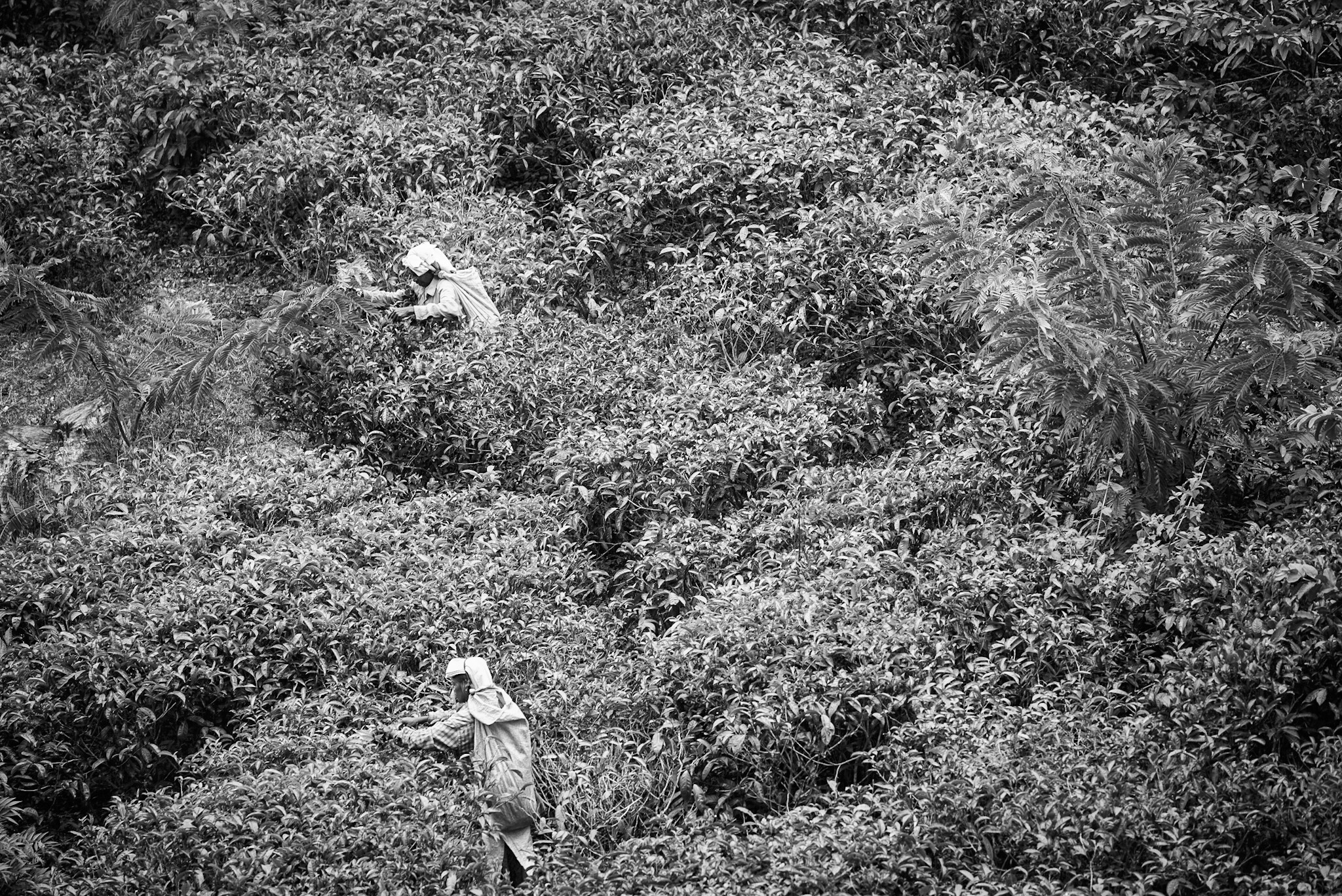 Tea picking in Ella, Sri Lanka